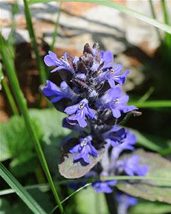 Wiesenblumen und Kräuter, Kriechender Günsel