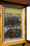 Schaubeute für ein Bienenvolk auf dem Schulgelände in Langenwetzendorf