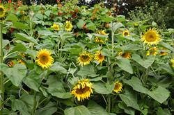 Sonnenblumen, guter Pollenspender, Bienenweide , werden gern von den Bienen angeflogen
