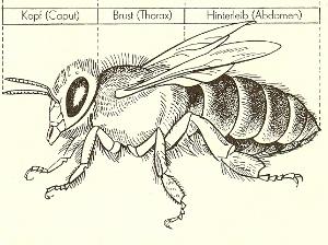Theorie AG , Körperbau der Biene