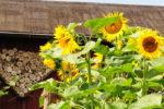 Sonnenblumen Bienenweide
