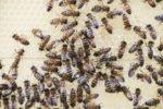 Bienenauf der Wabe